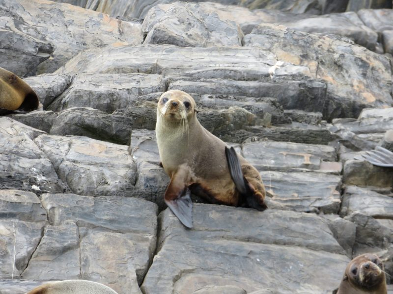 Australian Sea Lion Kangaroo Island