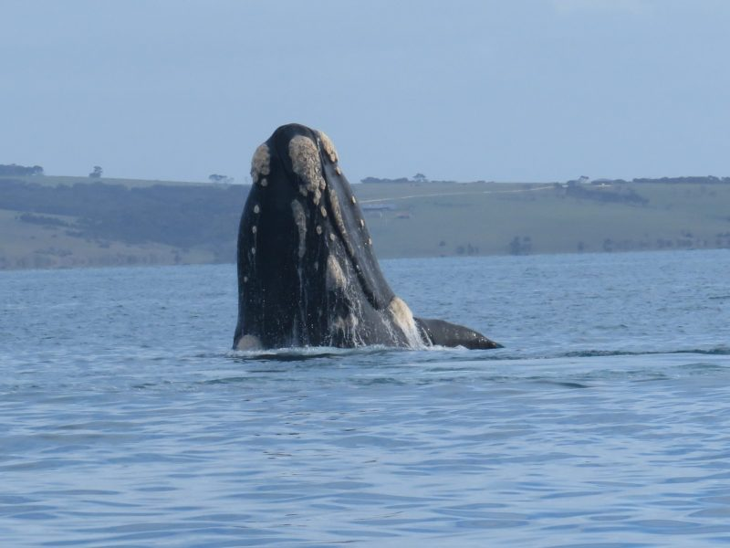 Southern Right Whale off Kangaroo Island